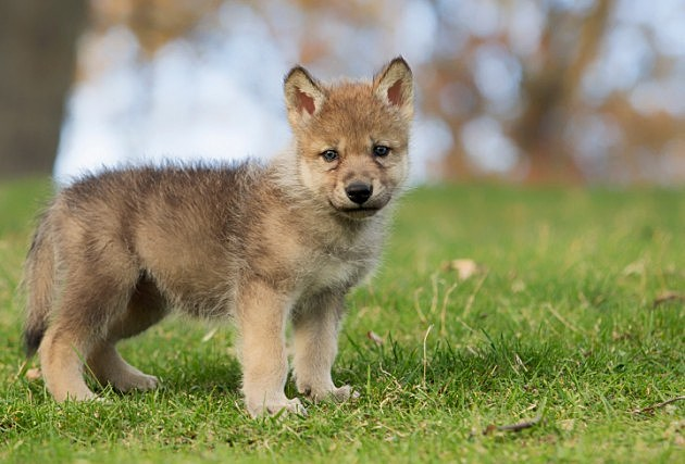 Help Name Baby Wolves at Brookfield Zoo