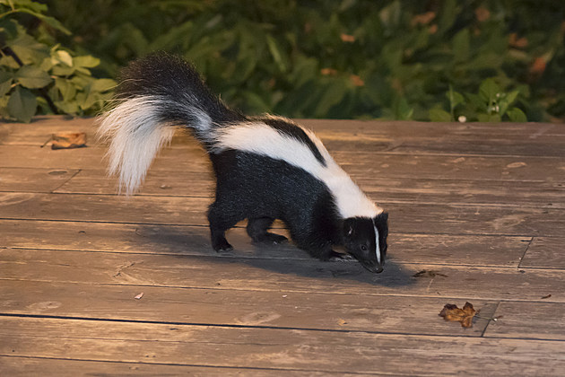 Skunk in Backyard Patio